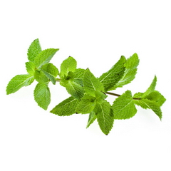 Menthe, herbes fraiches aromatiques